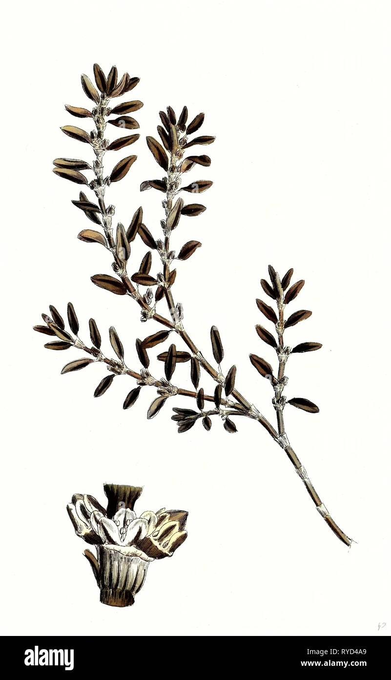 Polygonum Aviculare Arenastrum Common Knot-Grass - Stock Image
