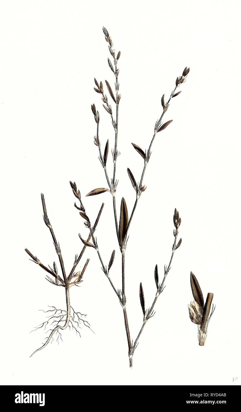 Polygonum Aviculare Rurivagum Common Knot-Grass - Stock Image
