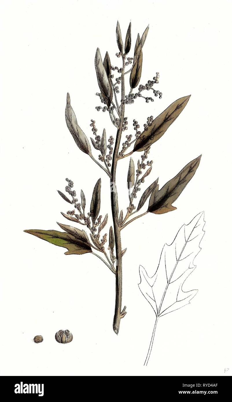 Chenopodium Ficifolium Fig-Leaved Goosefoot Stock Photo