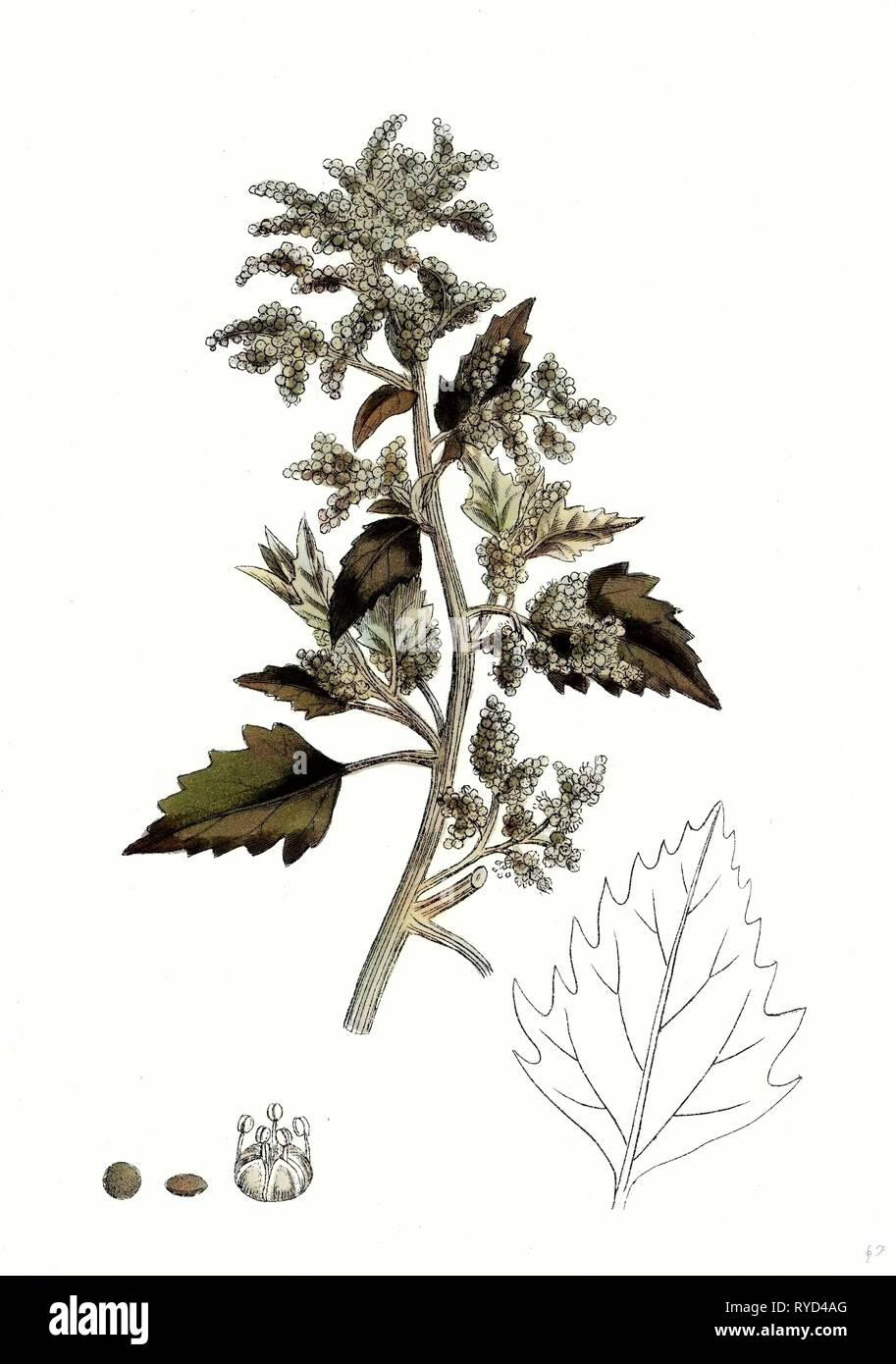 Chenopodium Murale Nettle-Leaved Goosefoot - Stock Image