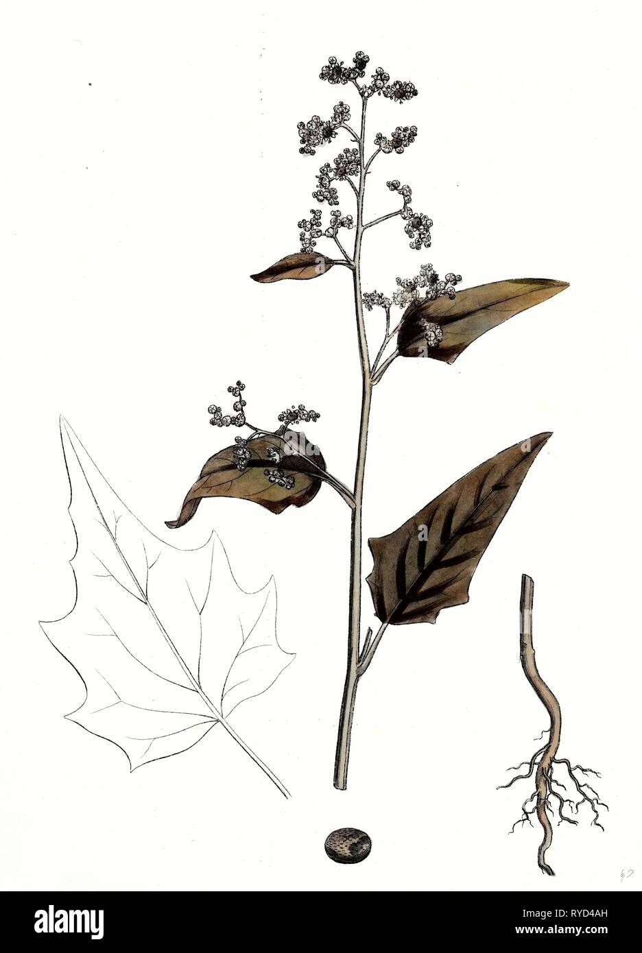 Chenopodium Hybridum Maple-Leaved Goosefoot - Stock Image