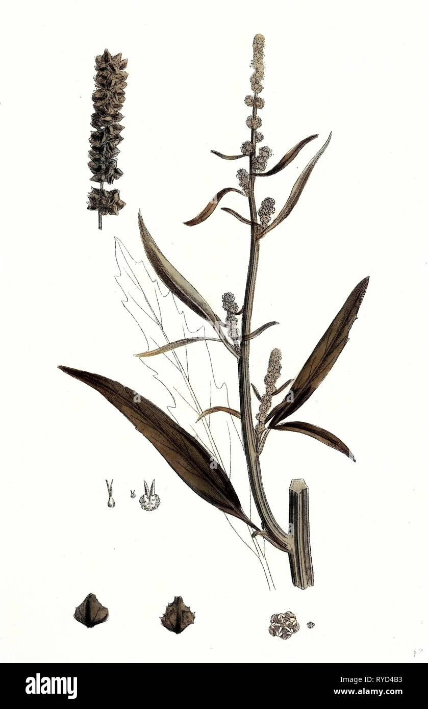 Atriplex Littoralis Var. Marina Grass-Leaved Sea Orache Var. B - Stock Image