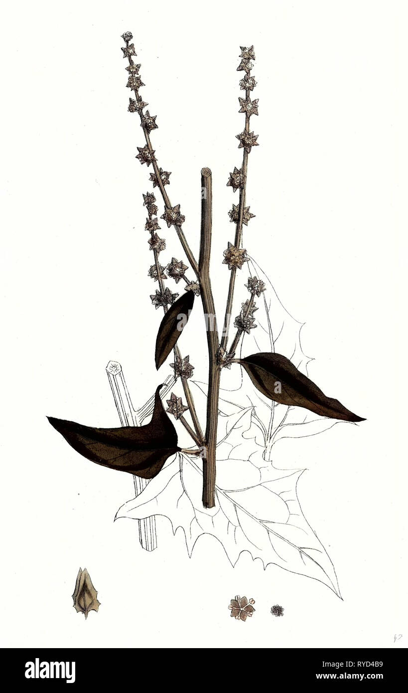Atriplex Smithii Smith's Orache - Stock Image