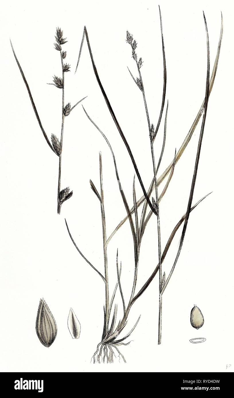 Carex Remota Distant-Spiked Sedge - Stock Image