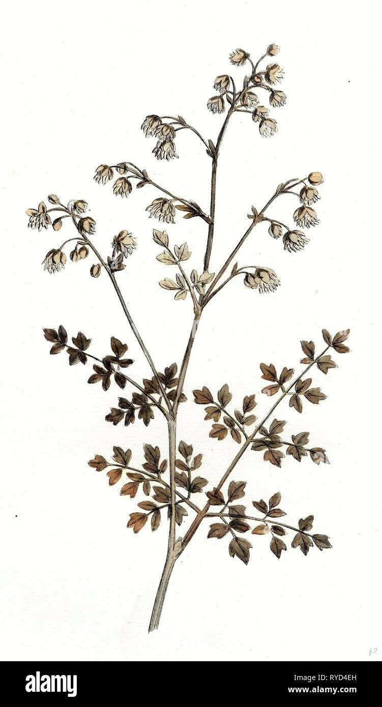 Thalictrum Minus Montanum Lesser Meadow Rue Var. B - Stock Image