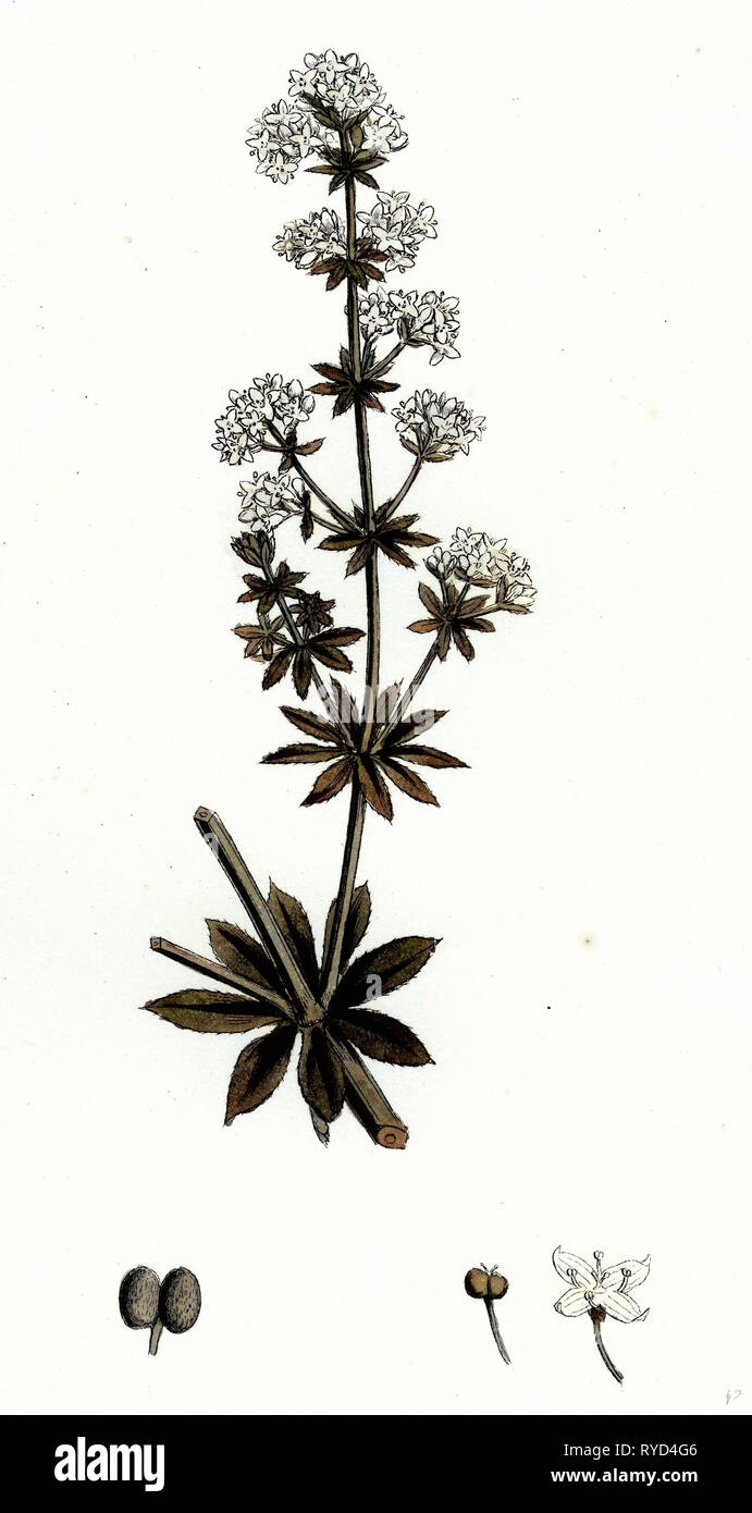 Galium Elatum Common Great Bedstraw - Stock Image