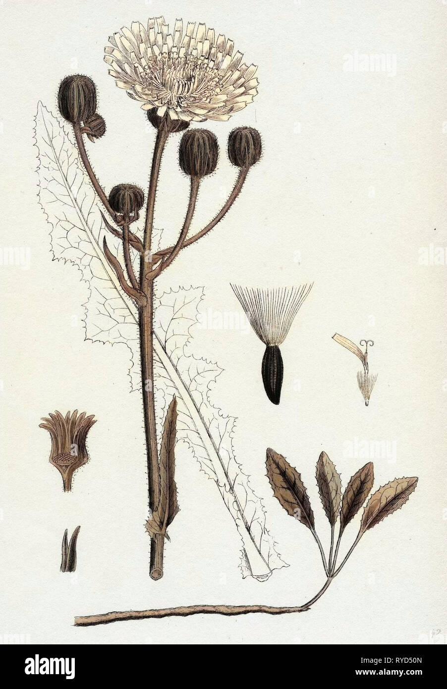 Sonchus Arvensis Corn Sow-Thistle - Stock Image