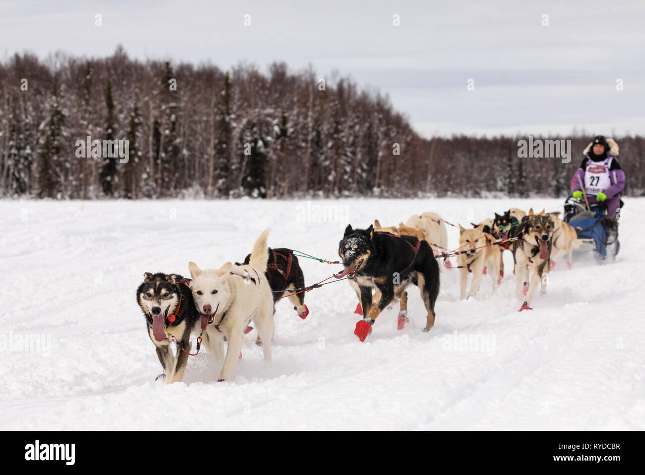 Musher Marcelle Fressineau after the restart in Willow of the 47th Iditarod Trail Sled Dog Race in Southcentral Alaska. - Stock Image