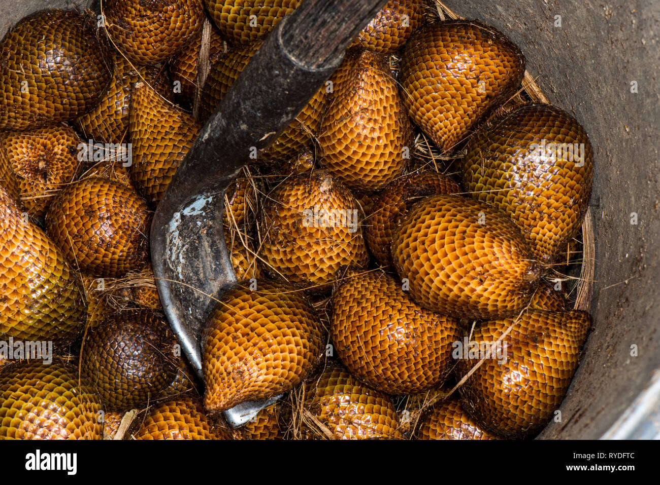 Salak (Salacca zalacca) is a species of palm tree native to Java and Sumatra in Indonesia. It is cultivated in other regions of Indonesia as a food cr - Stock Image