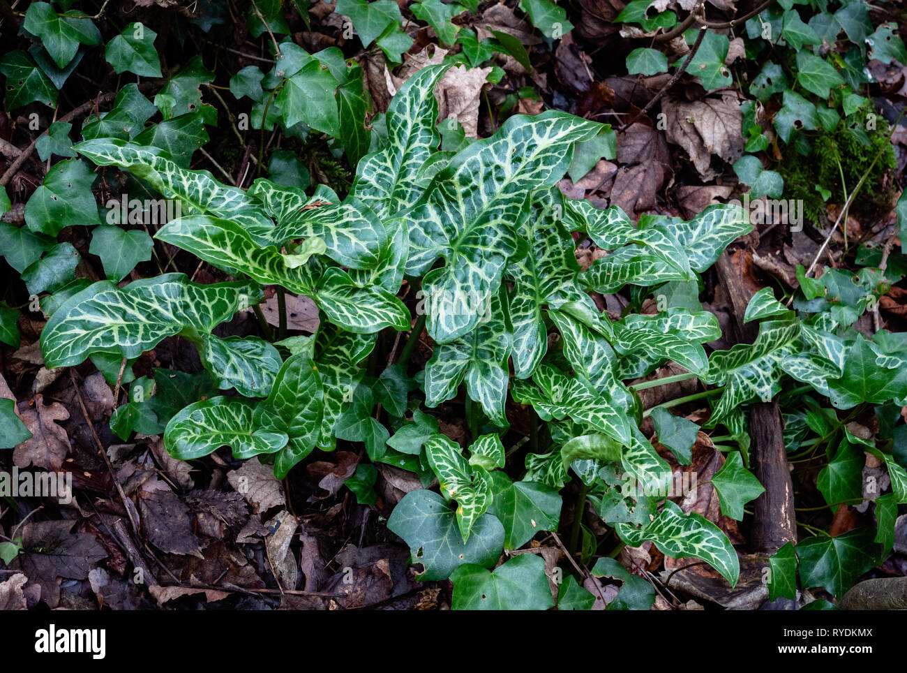 Cuckoo pint or Lords and Ladies Arum maculatum with marbled leaves probably a garden variety escape in a Somerset wood UK - Stock Image
