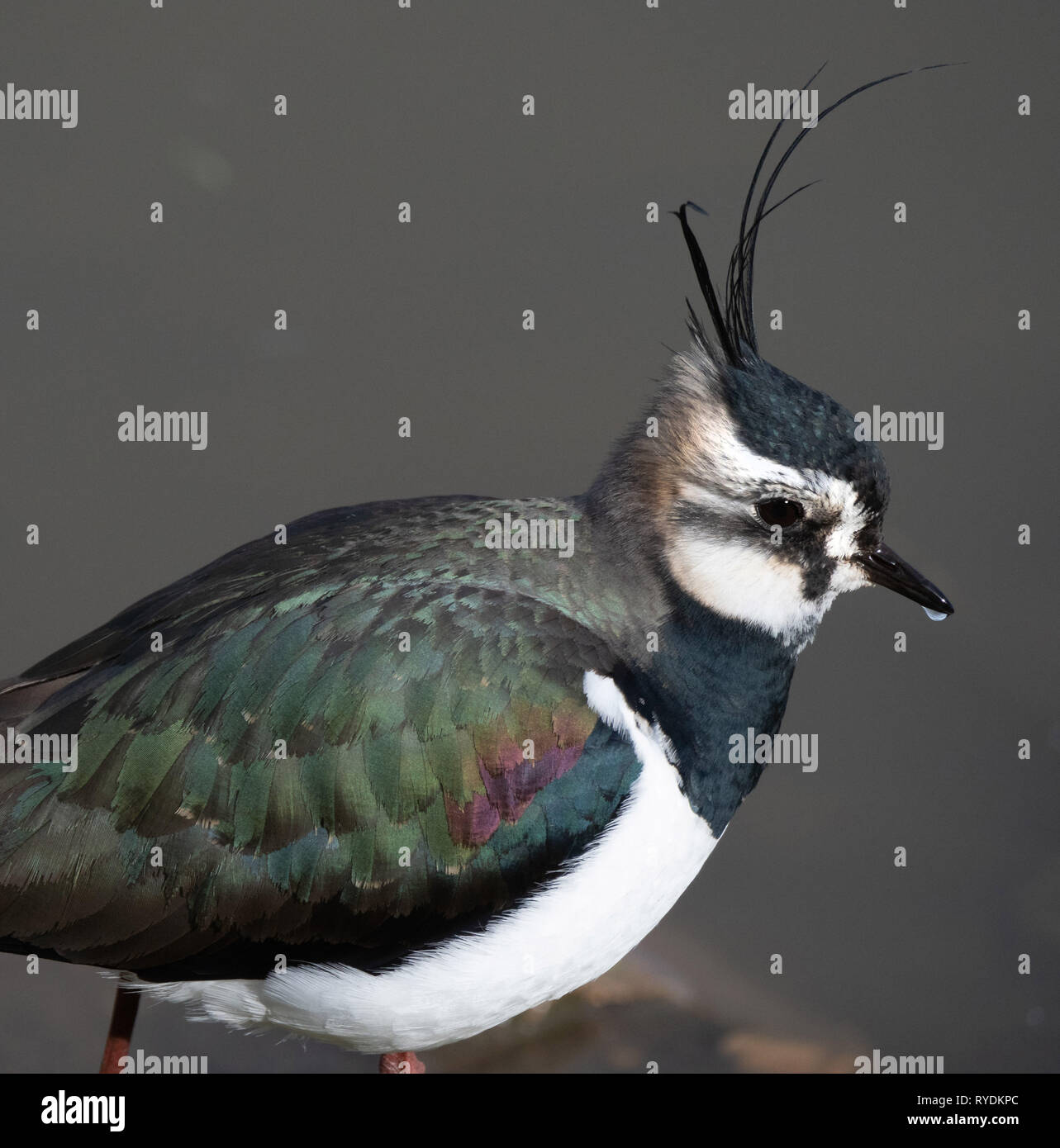 Close up view of lapwing peewit or green plover Vanellus vanellus showing irridescent green feathers on back and long crest feathers  - Somerset UK Stock Photo