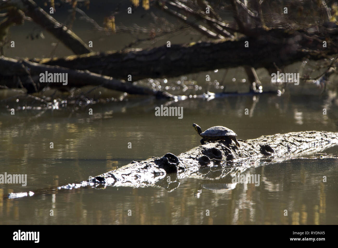 Terrapin in sunny spot resting on a log in lake in winter sun. High contrast but clearly see terrapin with head raised and about to dive in the water. - Stock Image