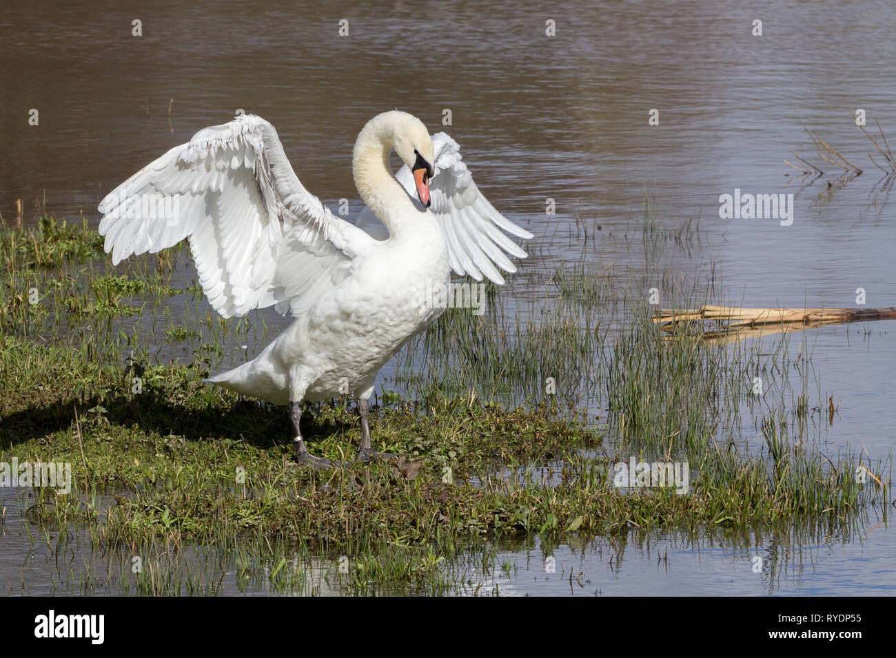 Swan mute (Cygnus olor) stretching its wings at waters edge. Chest out neck back and head down posture. Large white wings and body and an orange bill Stock Photo
