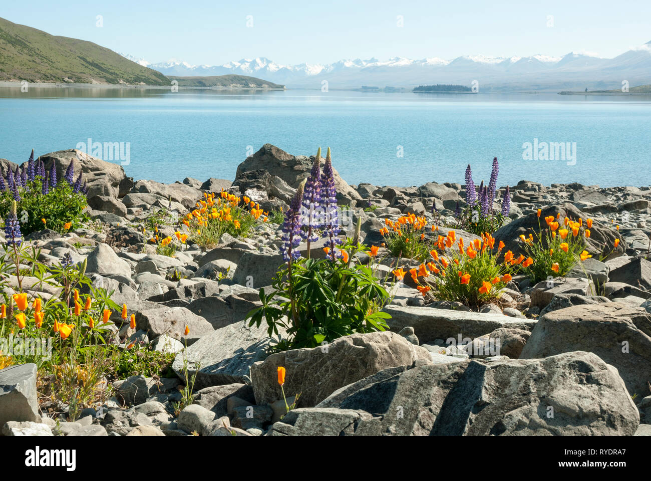 The stunning pale blue Lake Tekapo, New Zealand, with snow capped mountains in the background; colourful lupins and Californian poppies in foreground. Stock Photo