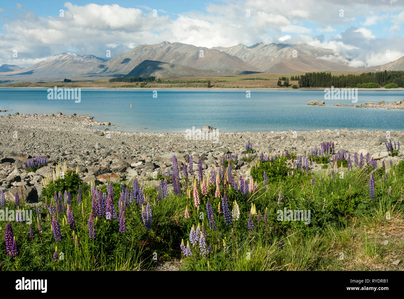 The stunning pale blue Lake Tekapo, New Zealand, with mountains in the background and colourful lupins in the foreground. Sunny day, fluffy clouds. Stock Photo