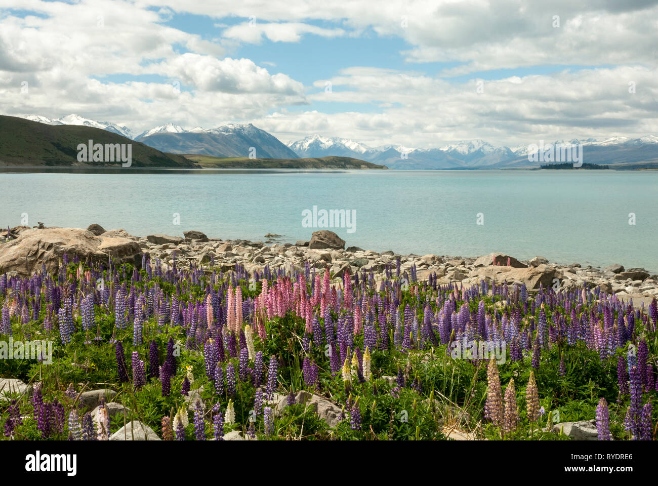 The stunning pale blue Lake Tekapo, New Zealand, with snow capped mountains in the background and colourful lupins in the foreground. Sunny day. Stock Photo