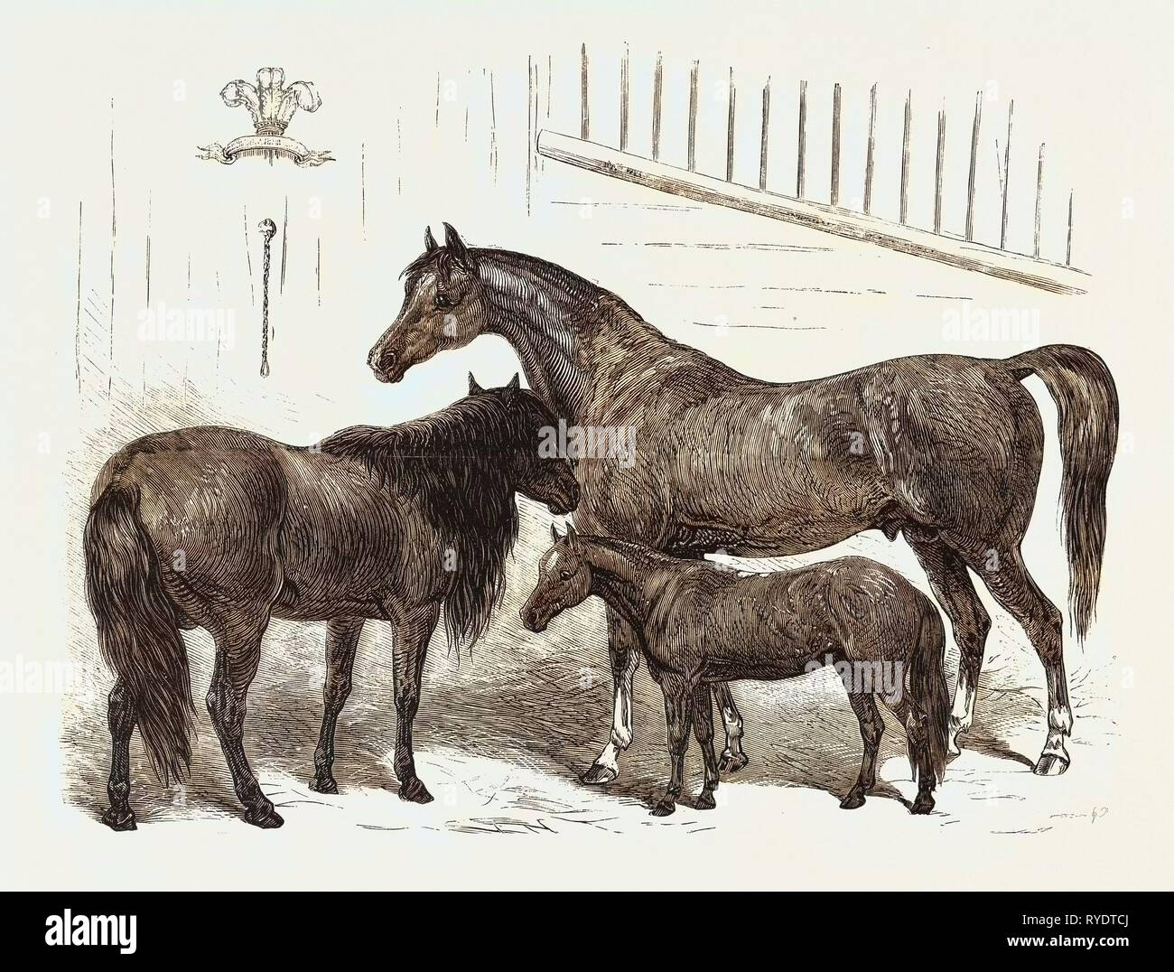 The Prince Of Wales Indian Horses At The Agricultural Hall Horse Show Cabulee Nawab Hussar Engraving 1876 Uk Britain British Europe United Kingdom Great Britain European Stock Photo Alamy