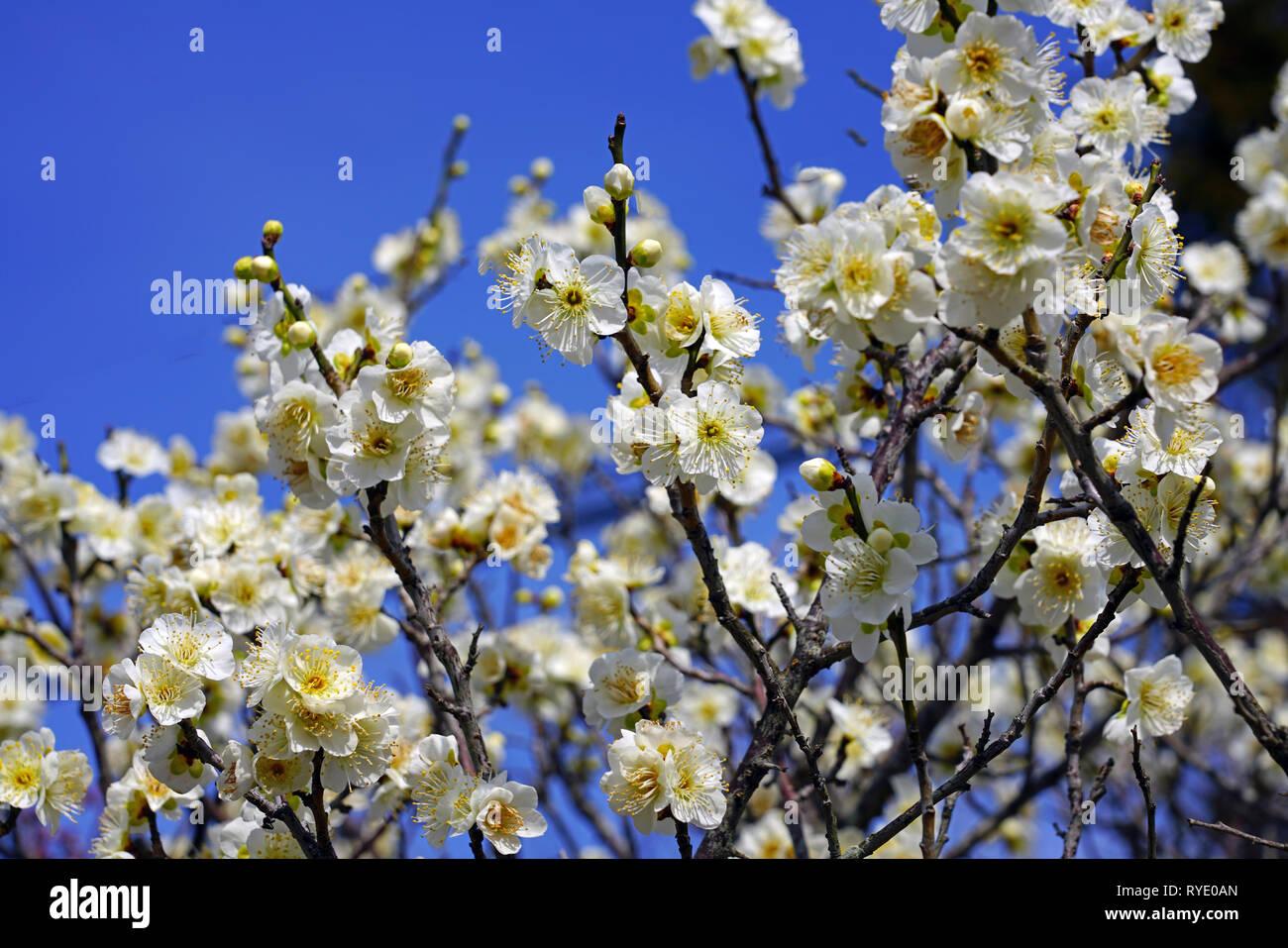 White Flower Blooms Of The Japanese Ume Apricot Tree Prunus Mume