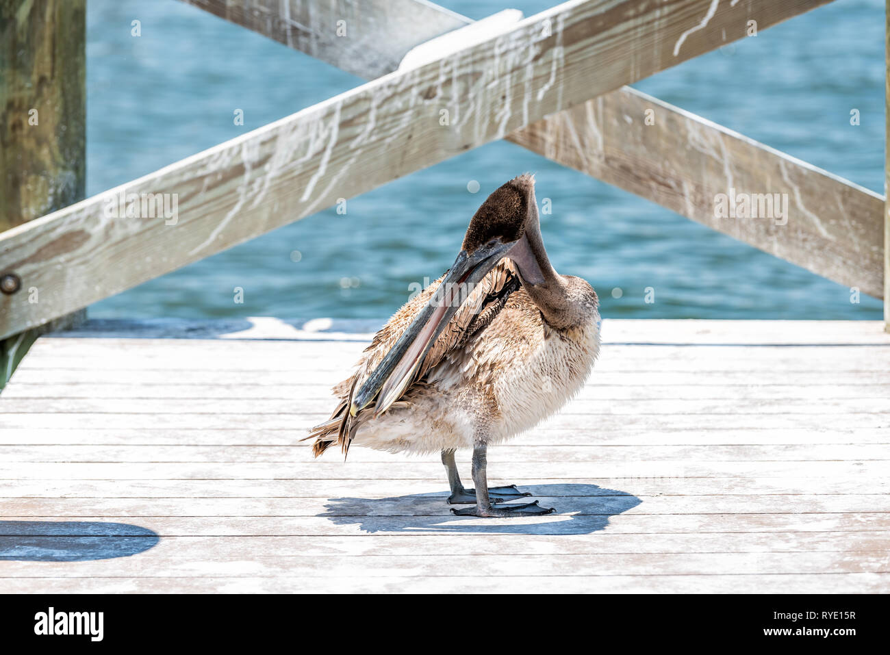 One young Juvenile Eastern Brown Pelican bird closeup in Florida bay near Sanibel island preening feathers with oil standing on wooden pier boardwalk Stock Photo