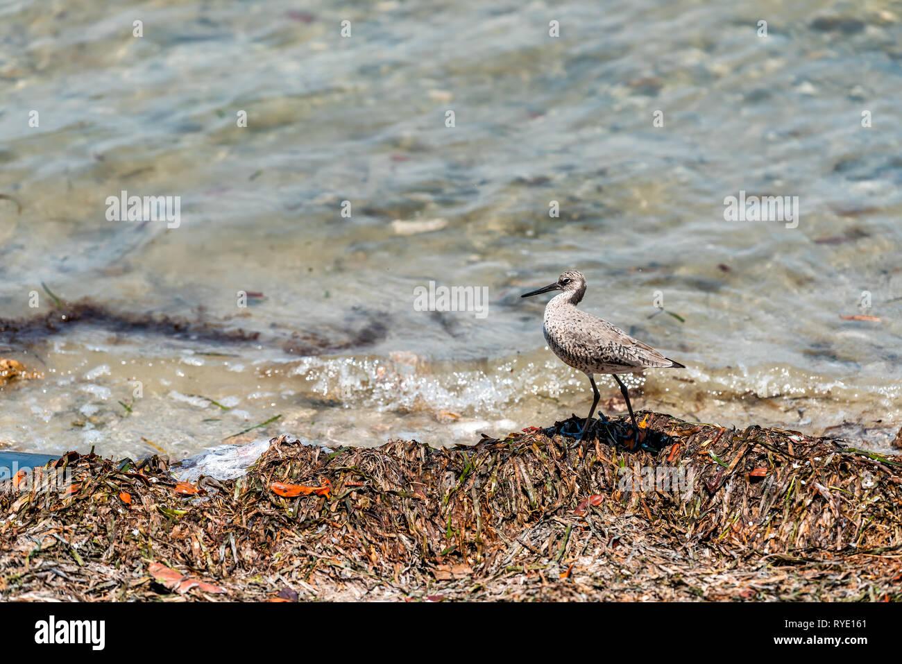 Sanibel Island in Florida bay sea near beach coast with closeup of willet bird walking by water Stock Photo