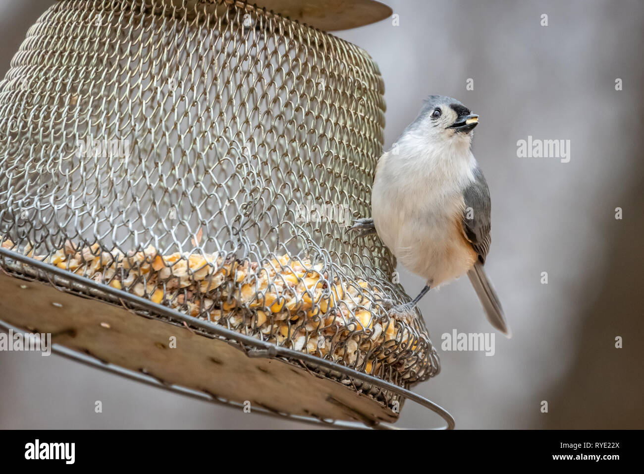Carolina Chickadee (Poecile carolinensis) at a feeder - Stock Image