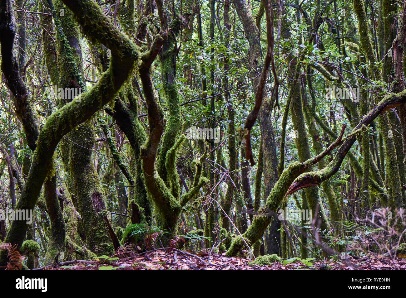 fairytale forest,primeval forest,south east, Cumbre Vieja, Canary Islands,Europe Stock Photo