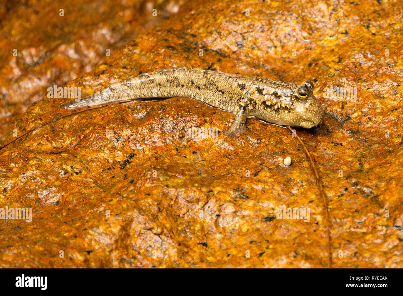 Mudskipper (Periophthalmus sp.) crawling on a rock. This amphibious fish can climb and walk on land using its limb-like pectoral fins (one seen just b - Stock Image
