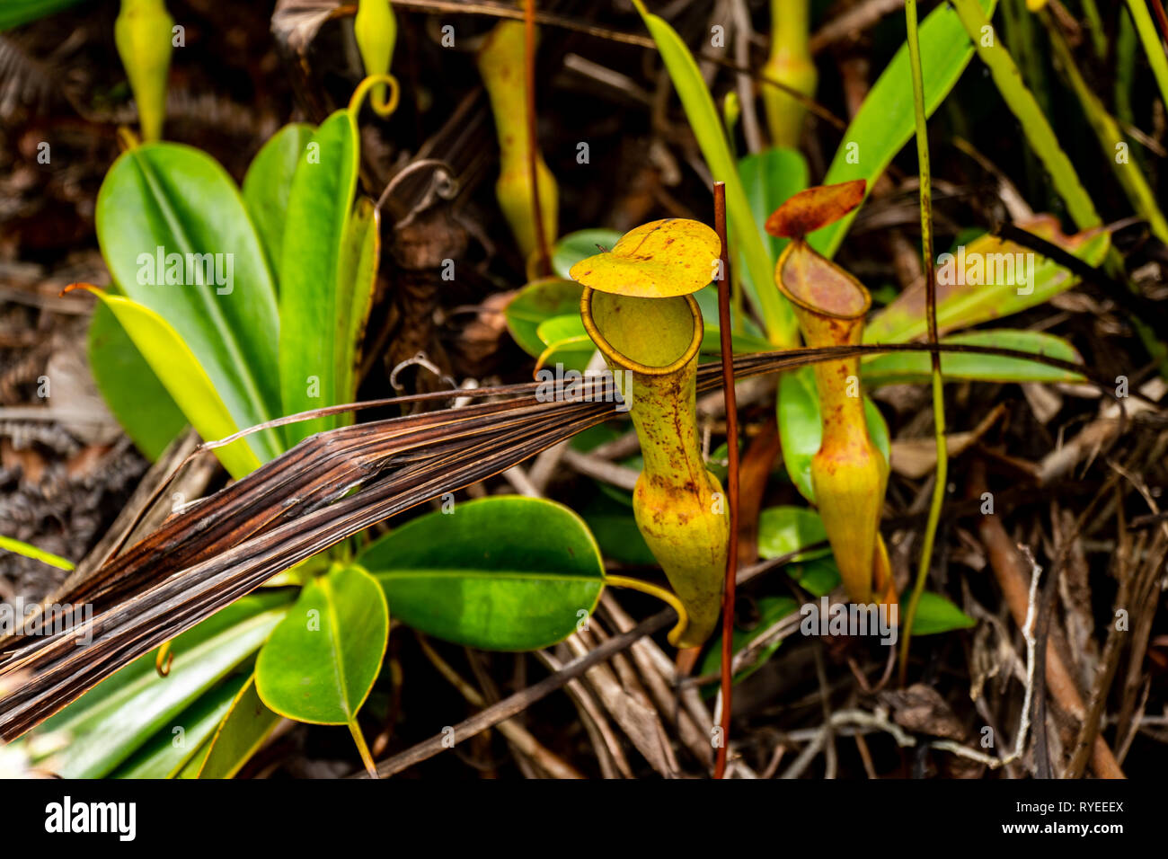 The urnlike insect trap of the carnivorous pitcher plant, Nepenthes pervillei. The pitcher (up to 30cm high) is an elaborate extension of the midrib o - Stock Image