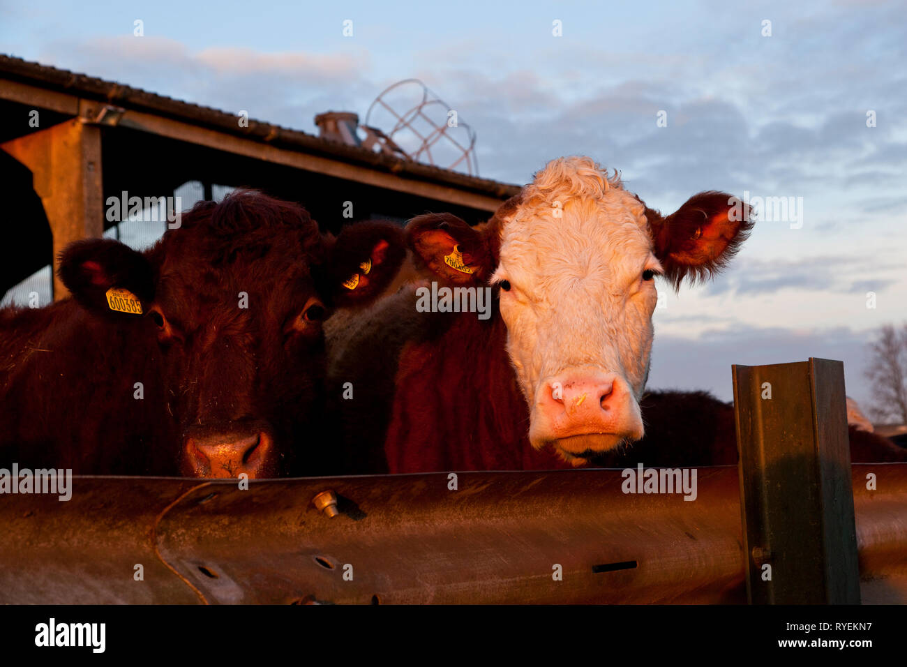 Portrait of two commercial cows - Stock Image