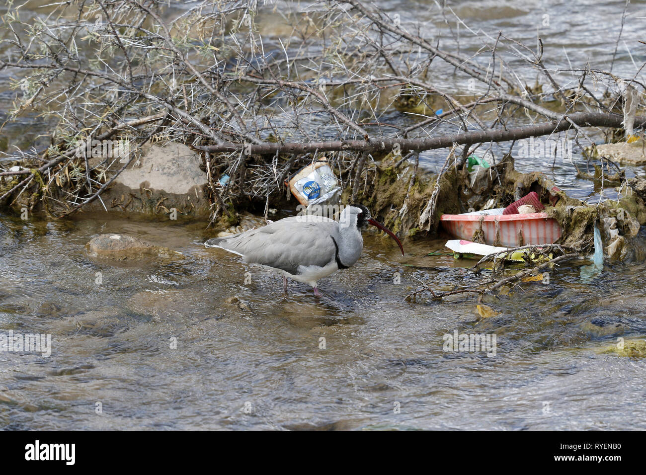 Ibisbill feeding amongst trash - Stock Image