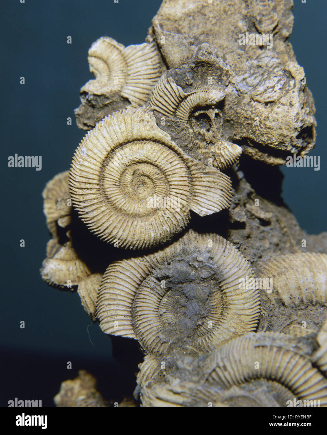 prehistory, fossilization, fossil, zoology, petrified ammonites, hippocampus, cephalopods, cretaceous age, Additional-Rights-Clearance-Info-Not-Available - Stock Image