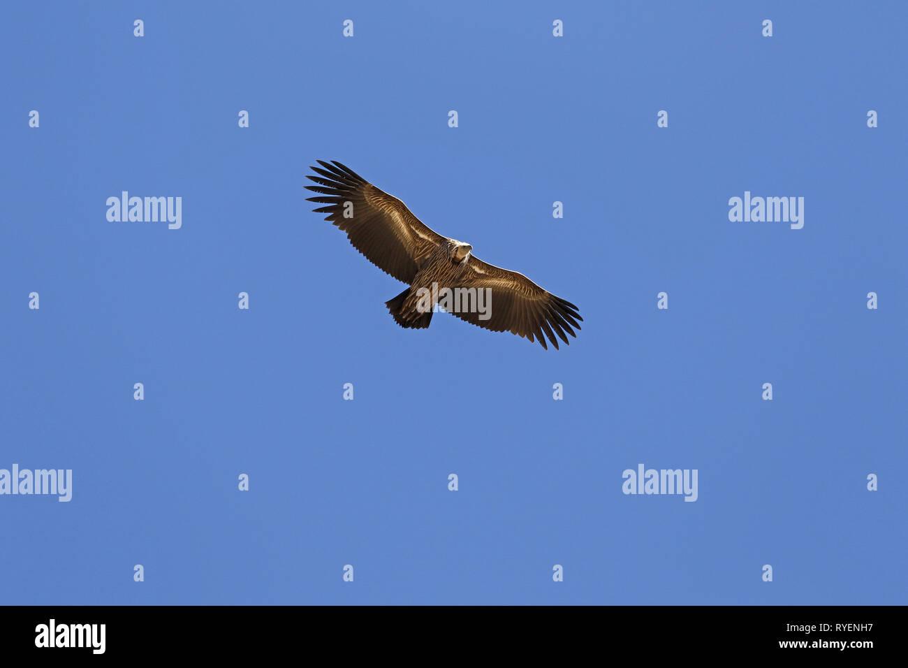 Himalayan Griffon Vulture soaring - Stock Image