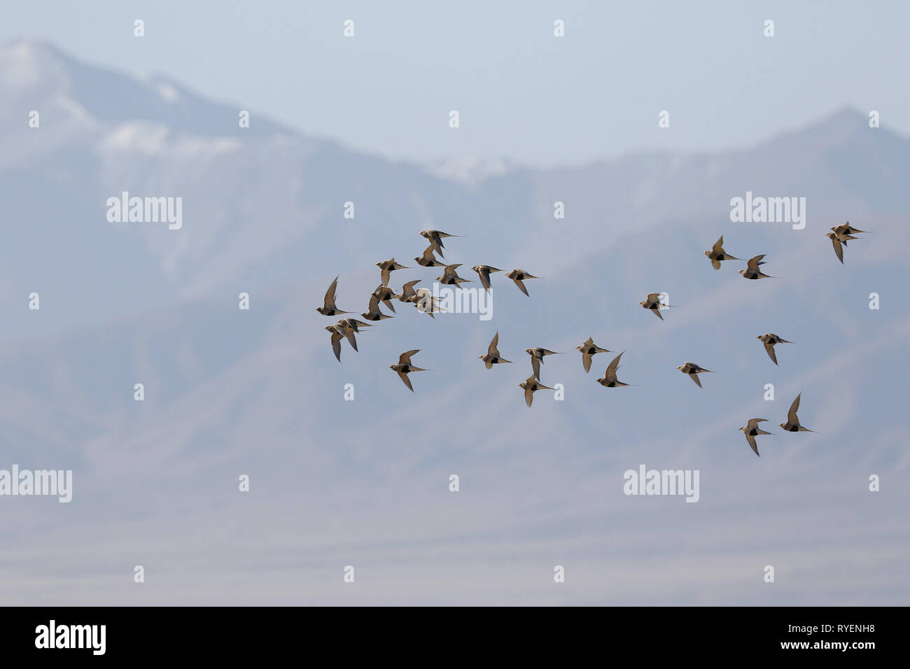 Pallas's Sandgrouse, Syrrhaptes paradoxus, flock in flight - Stock Image