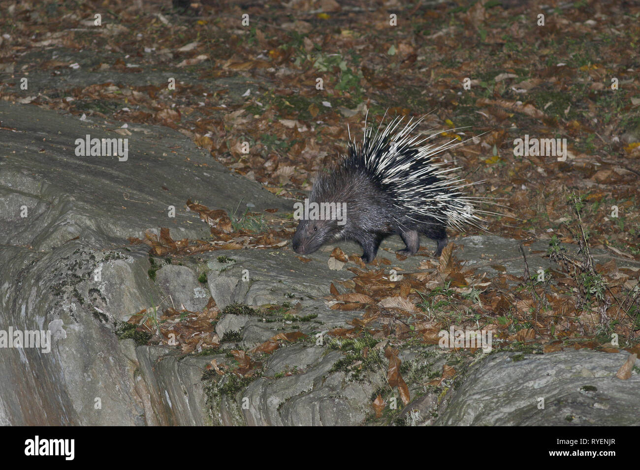 Malayan Porcupine, Hysterix brachyura, foraging at night - Stock Image