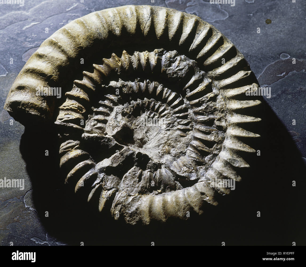 prehistory, fossil, fossil, zoology, petrified ammonite, Additional-Rights-Clearance-Info-Not-Available - Stock Image
