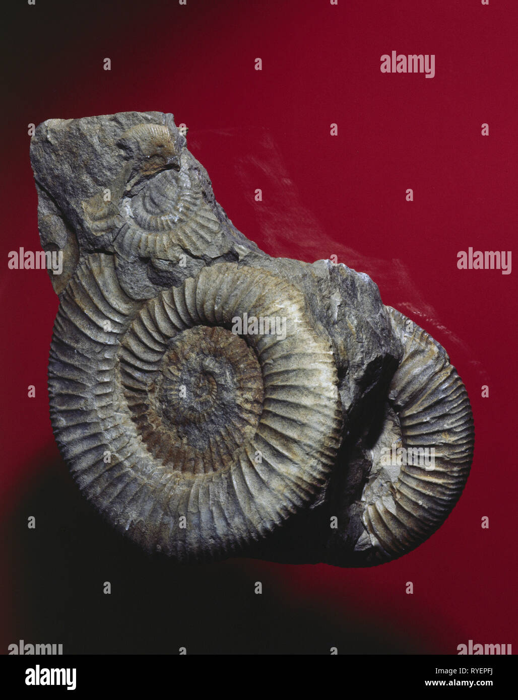 prehistory, fossil, fossil, zoology, petrified ammonite, finding place: Druegendorf / Franconia, Additional-Rights-Clearance-Info-Not-Available - Stock Image