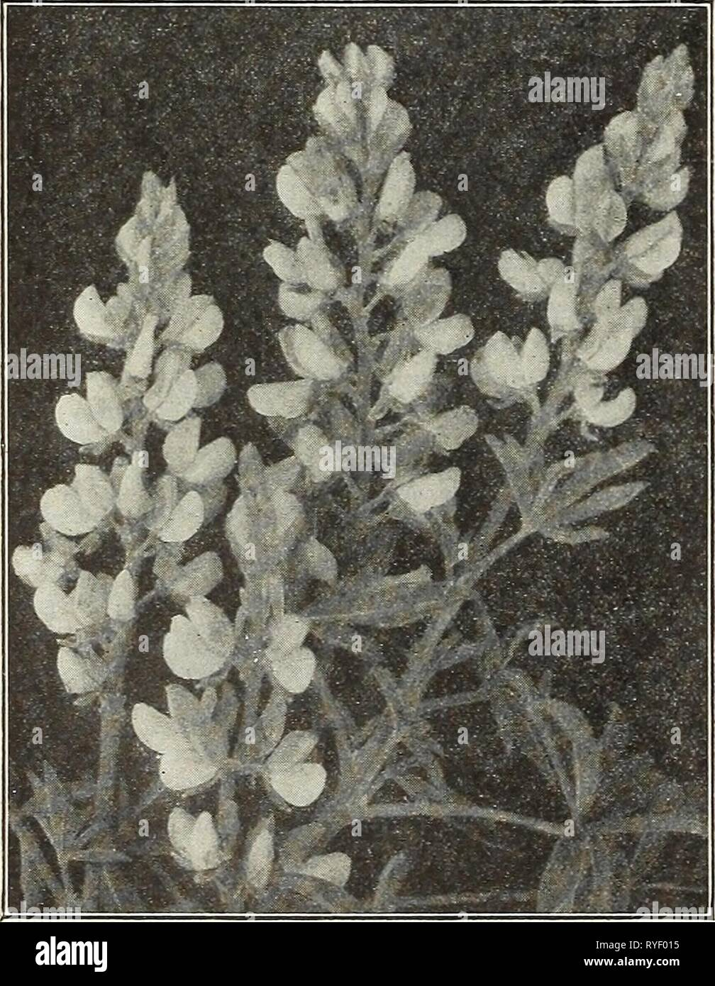 Dreer's wholesale price list for florists : flower seeds lawn grass seeds bulbs plants sundries  dreerswholesalep1931henr Year: 1931  HENRY A. DREER Flower Seeds WHOLESALE LIST Fern Spores We can furnish spores of our own saving of the following- splendid varieties. Adlantnm Cnneatom Pterls Serrnlata Serrulata Cristata Tremnla 'VictorEe Wilsoni, $1.00 W-imsetti Wimsetti Mnltlceps Aspidinni Tsnssimense CjTtomlnm Rochfordlannm Compactnm Pteris Adiantoldes ' Cretlca Albo Lineata ' Ma^nifica ' Maj-ii Price. Any of the above Fern Spores, except Pteris Wilsoni, 50 cents per trade packet. General Mix - Stock Image