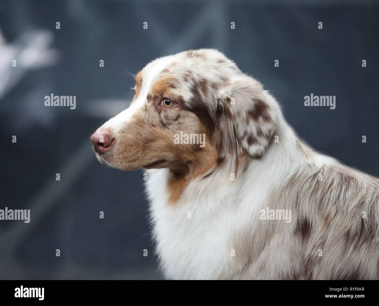Portrait of a side view of a large dog - Stock Image