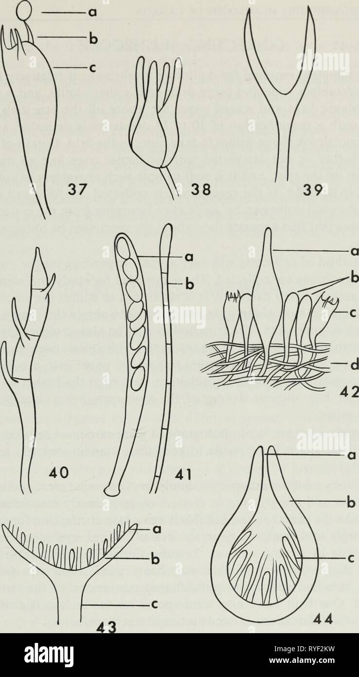 Edible and poisonous mushrooms of Canada  ediblepoisonousm00grov Year: 1979    Figures 37-40. Semidiagrammatic drawings illustrating various types of basidia: 37, basidium of Agaricaceae (a spore, b sterigma, c basidium); 38, basidium of Tremellaceae with longi- tudinal septa; 39, deeply forked basidium of Dacrymycetaceae; 40, basidium of Auricularia- ceae with transverse septa. Figure 41. Semidiagrammatic drawing of: a ascus containing ascospores, b paraphysis. Figure 42. Diagram illustrating a small section of the lamella of a mushroom: a cystidium, b paraphyses, c basidium, d trama. Figure  - Stock Image