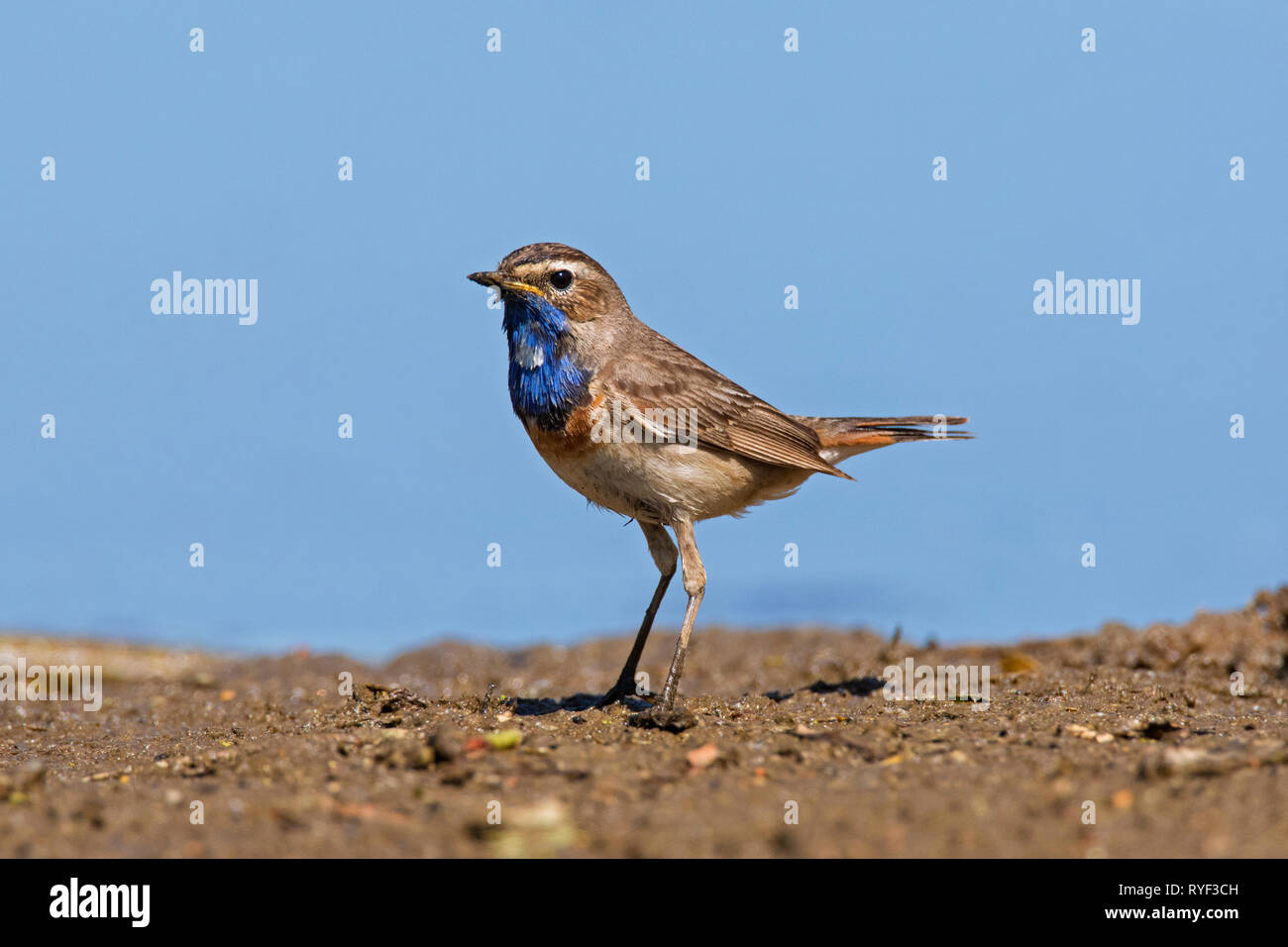 White-spotted bluethroat (Luscinia svecica cyanecula) male on the ground at lake bank in wetland in spring - Stock Image