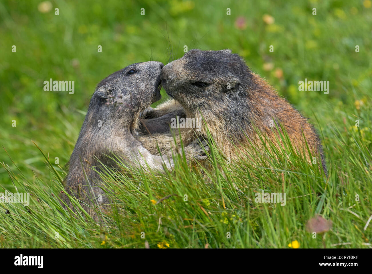 Alpine marmot (Marmota marmota) adult playing with young, Hohe Tauern National Park, Carinthia, Austria - Stock Image