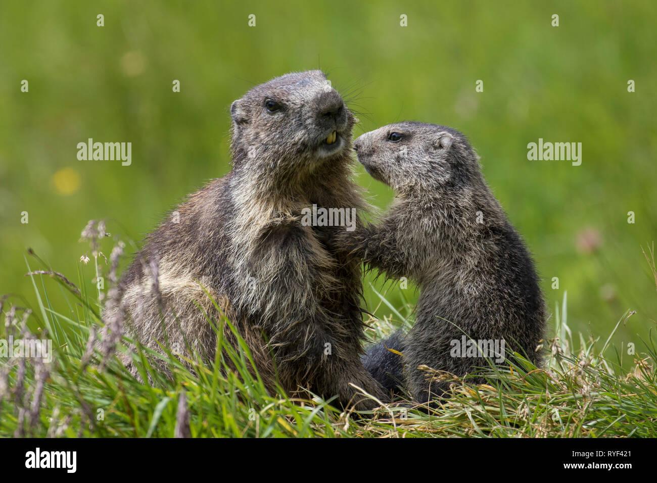 Alpine marmot (Marmota marmota) young greeting parent, Hohe Tauern National Park, Carinthia, Austria - Stock Image