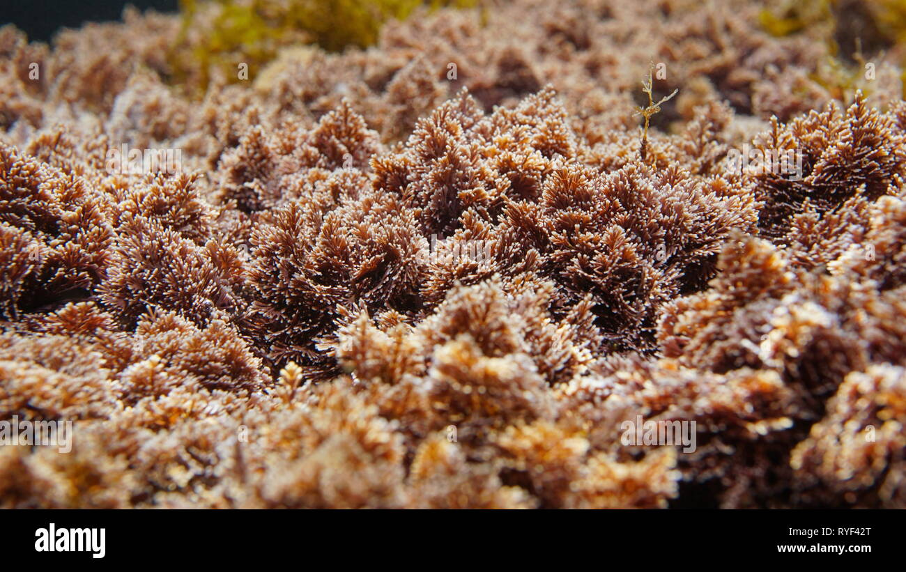 Red algae Corallina elongata underwater in the Mediterranean sea, Spain - Stock Image
