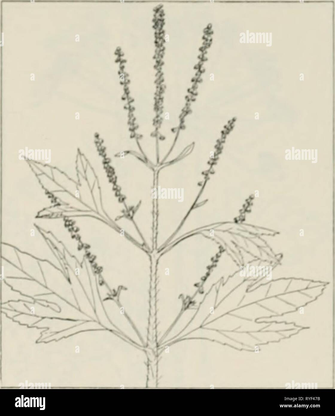 The drug plants of Illinois  drugplantsofilli44teho Year: 1951  Tehon THE DRUG PLANTS OF ILLINOIS 19 AMBROSIA TRIFIDA L. Giant rag- weed, horse-weed. Compositae. — A very coarse herb up to '^ feet tall, aiuiual; stems stroiifj:, strai;^lit, branched, rough- hairy; leaves lar}j;e, opposite, petioled, ser- rate, often 10 to 12 inches wide, 3-ncrved, mostly 3-lobe(l, the lobes sharp-pointed; male flowers in green heads, the heads in loose to compact spikes up to 10 inches long; female flowers clustered in the axils of upper leaves. Leaves and tops collected  hen the plant is in flower. Extreme Stock Photo