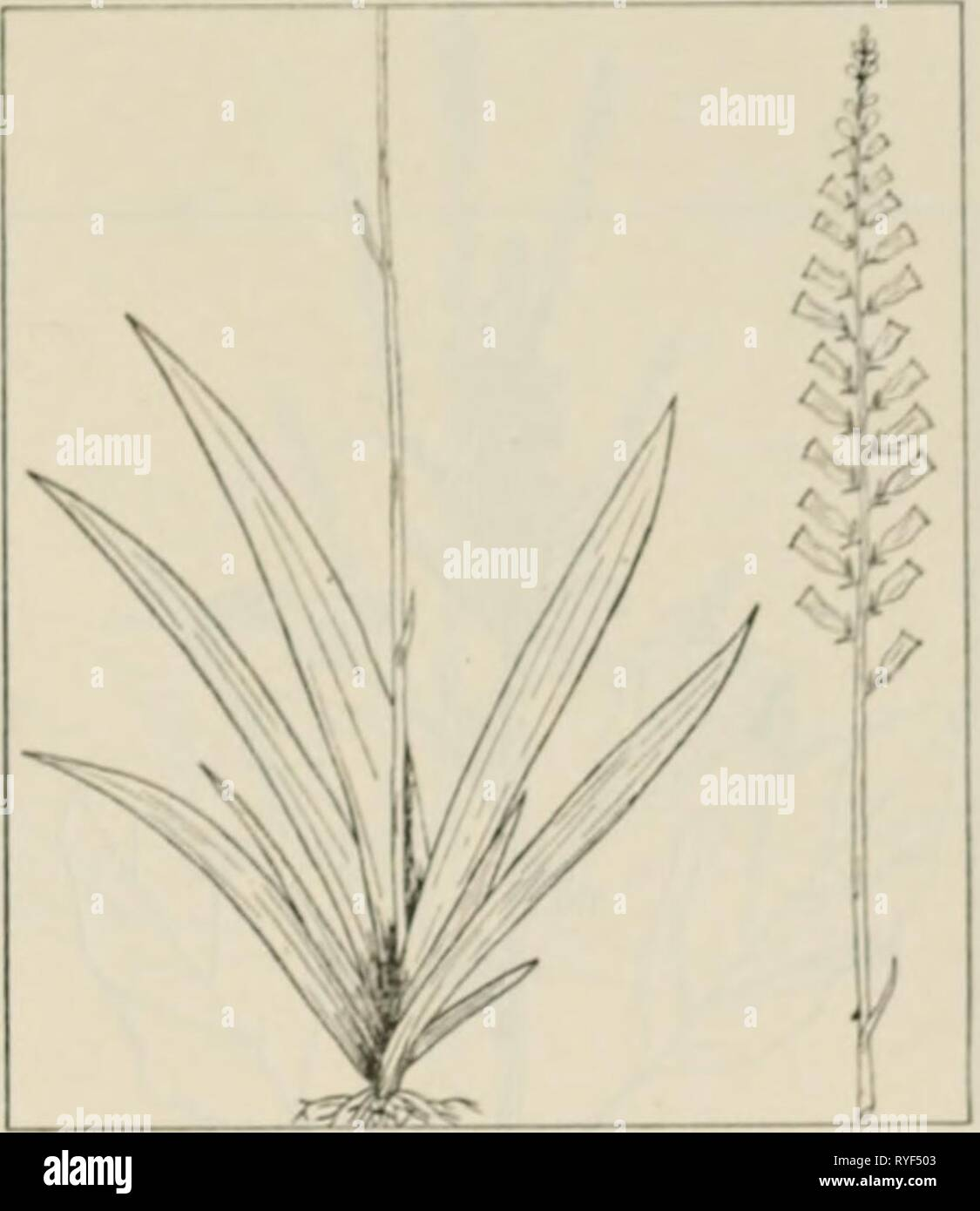 The drug plants of Illinois  drugplantsofilli44teho Year: 1951  Tehon THE DRUG PLANTS OF ILLINOIS 17 ALETRIS FARINOSA L. Star ^rass, colic-root, ague grass, true unicorn root. Liliaceae.—A stcmlcss, glabrous herb, perennial; roots fibrous, numerous, tough; leaves directly from the crown, lanci-oiatc, acuminate at the tip, narrowed to the base, pale yellow-green, 2 to 6 inches long, up to ^ inch wide; flowers white or yellow tipped, about I/4 inch long, closely set in a spike 4 to 12 inches long at the top of a slender, striate flower stalk li/^ to 3 feet tall. Rootstock and roots collected in  Stock Photo