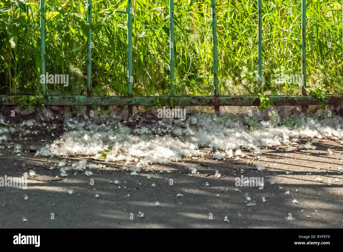 Poplar fluff fell on the pavement near the iron grille of the fence. - Stock Image