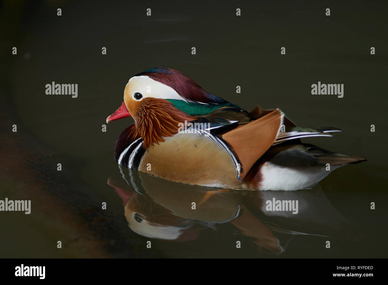 Male Mandarin Duck (Aix galericulata) showing ornate and colourful plumage. Stock Photo