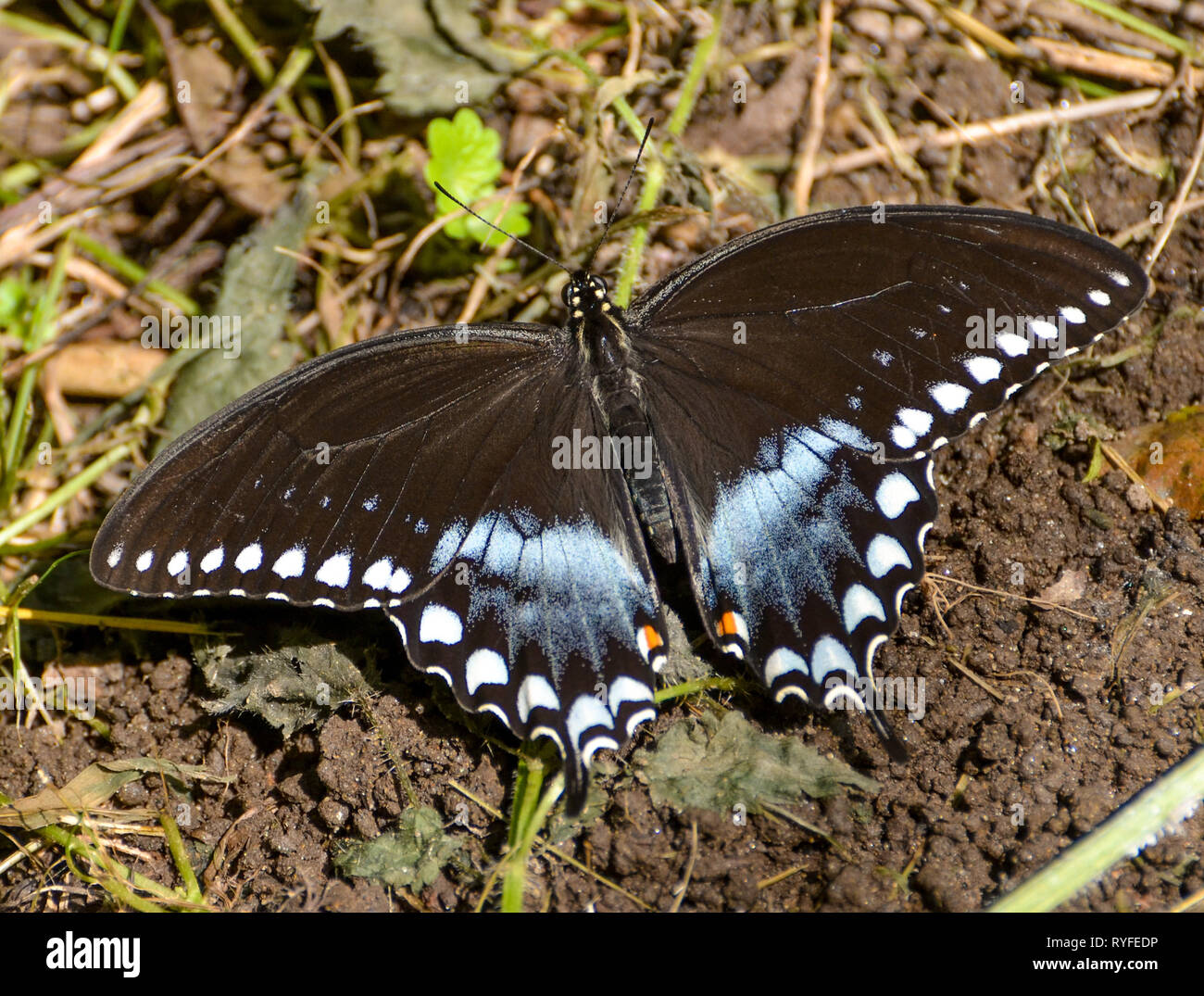 Limenitis arthemis astyanax or Spice bush swallow tail on the ground with wings spread. - Stock Image