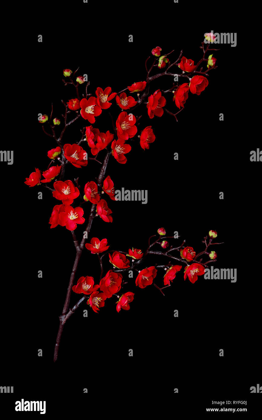 Artificial Branch Of Blossoming Cherry With Bright Red Flowers Isolated On Black Background Stock Photo Alamy