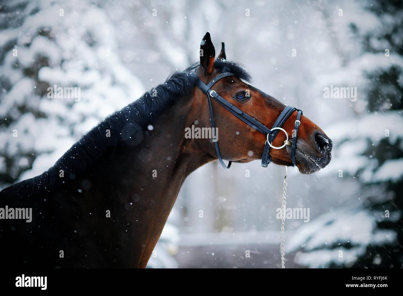 Portrait Of A Sports Stallion Thoroughbred Horse Beautiful Horse Stock Photo Alamy